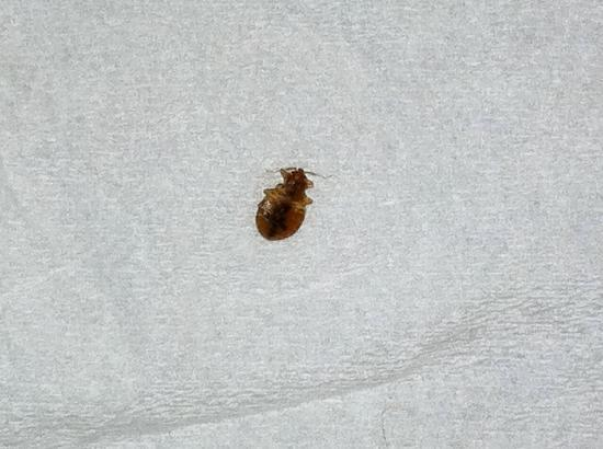 Danvers, MA: Picture of the bed bug we found on our bed in room 413.