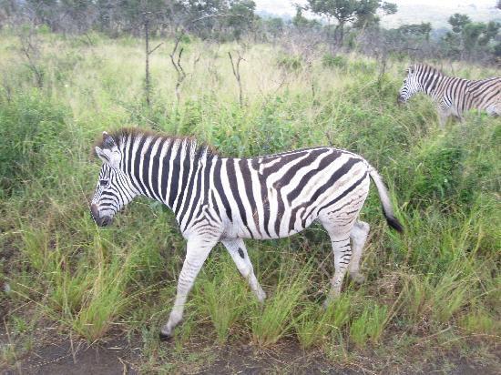 Protea Hotel Hluhluwe & Safaris: zebra