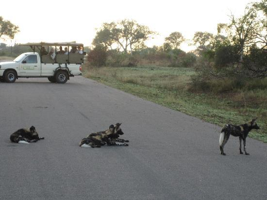 Protea Hotel by Marriott Kruger Gate: African Wild dogs