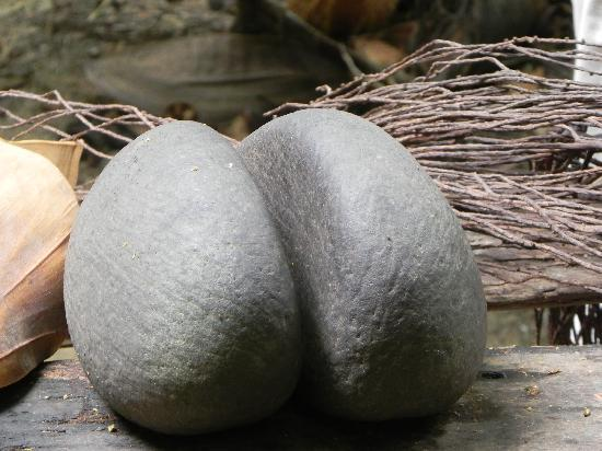 Isola di Praslin, Seychelles: thats the famous female nut