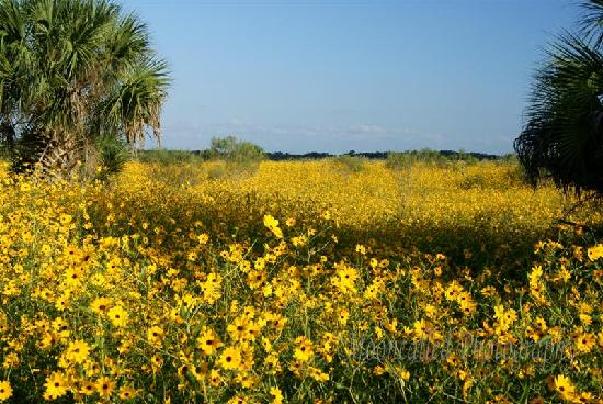 Sanford, FL: Wild Sunflowers