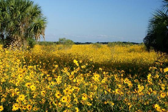 Sanford, فلوريدا: Wild Sunflowers