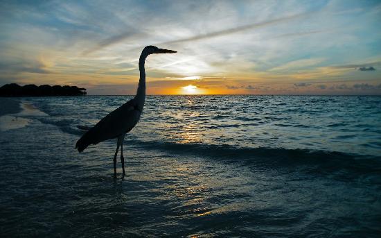 Fihalhohi Island Resort: A heron hunting at sunset