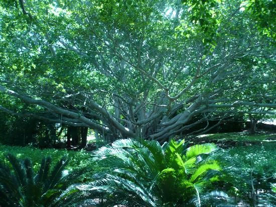 Crystal & Fantasy Caves: Enormous banyan tree outside caves
