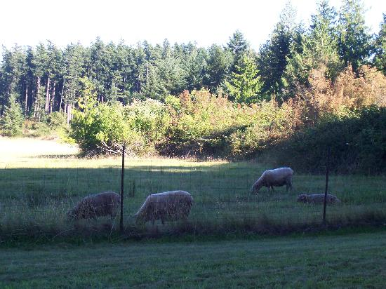 Lopez Farm Cottages & Tent Camping : Sheep pasture adjacent to campground