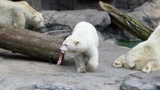 Cincinnati Zoo & Botanical Garden: Lunch time for the Polar Bears