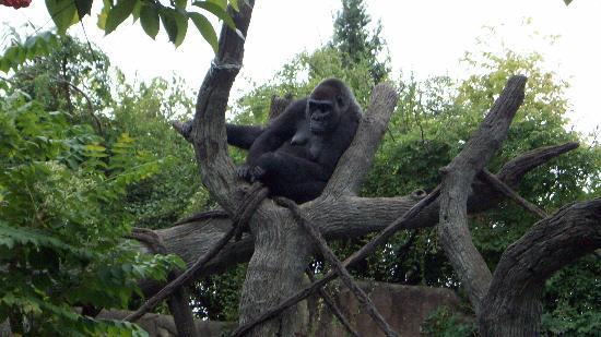 Cincinnati Zoo & Botanical Garden: Gorilla