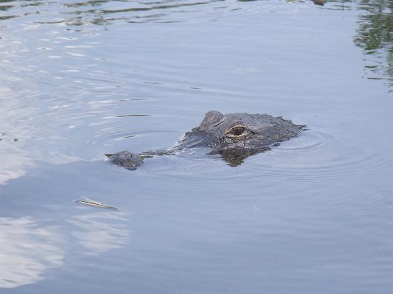 Wild Willy's Airboat Tours: Alligators close enough to touch!!!
