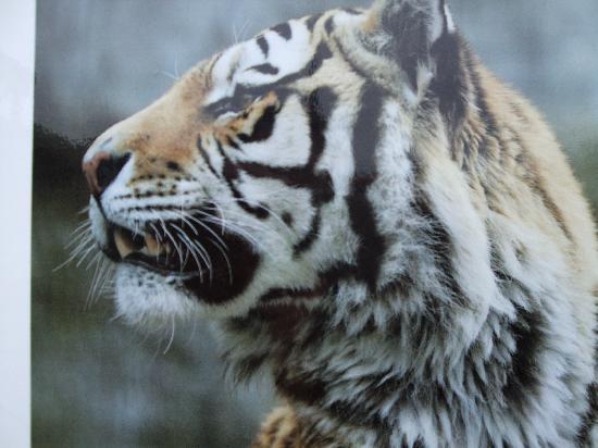 Asahikawa, Japón: 虎もこんな近くで撮れたりします