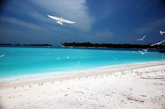 Conrad Maldives Rangali Island: Seabirds nesting at beach near the Quiet Zone