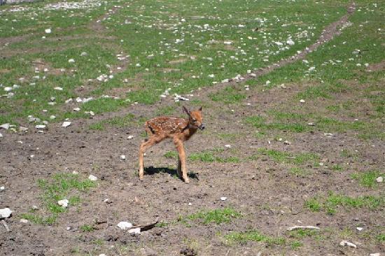 Deer Ranch: Fawn