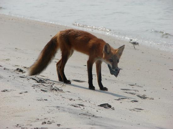 Surf City, Carolina del Norte: Little red fox getting a treat from the fishermen-south end of Topsail