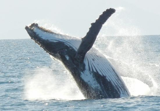 Calypso Reef Cruises : Humpback with Calypso on Great Barrier Reef