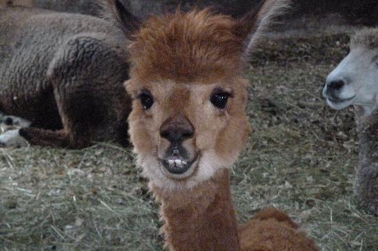 Whitefield, Nueva Hampshire: Cinnamon - the alpaca