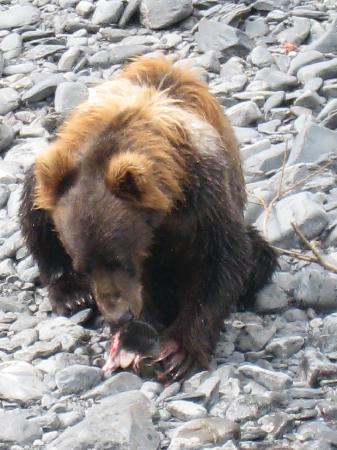 Kodiak bear eating pink salmon at Sargent Creek