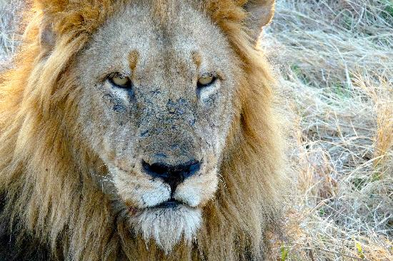 Inyati Game Lodge: Lion seen on drive