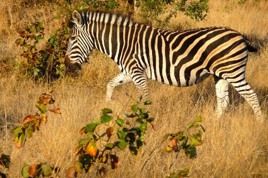 Inyati Game Lodge: Zebra on drive