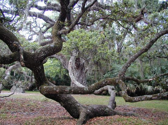 Ormond Beach, Flórida: Branches spread like tentacles