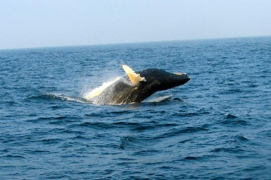 Bar Harbor Whale Watch Company: Humpback!