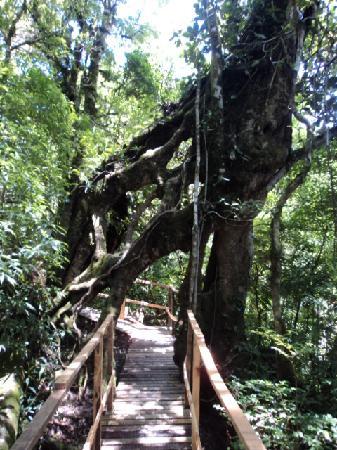 Canopy Adventure Barva Volcano: strangler fig tree on the trail