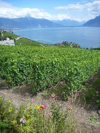 Lago de Ginebra: 静かなブドウ畑に吹く風は夏の暑さを忘れさせてくれます