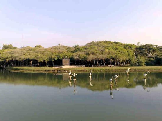 Khmer Ruins: Banyan-Baum
