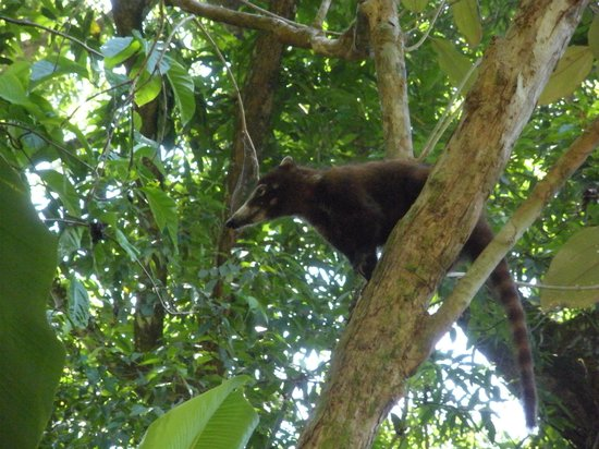La Leona Eco Lodge: anteater in nearby Corcovado National Park