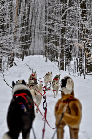 Wolfsong Adventures in Mushing: Hands-on mushing adventures