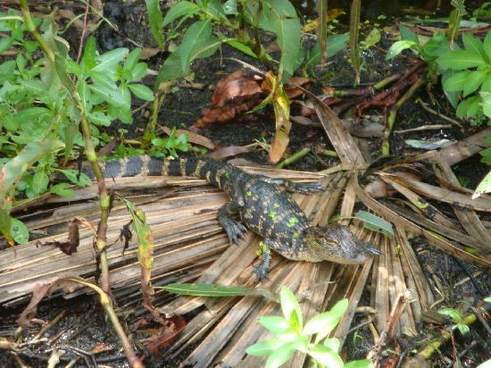 Aquatic Adventures Airboat Tours: A baby Gator