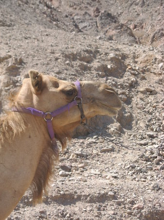 Camel Ranch Eilat