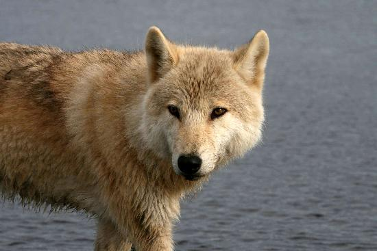 Alaska Bear Adventures: 2yr old wolf pup