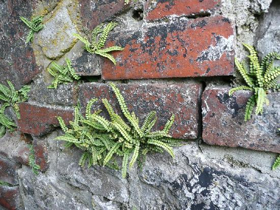 The Willows Bed & Breakfast: Growing ferns on Hofner Lime kilns at Stainforth