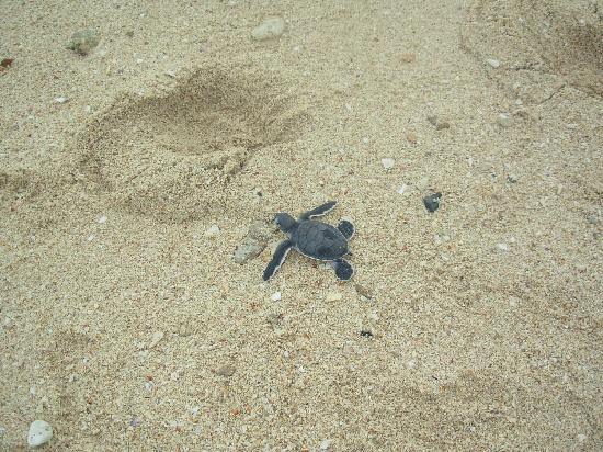 Turtle Island Park: The naturally hatched baby green turtle making its way to the sea