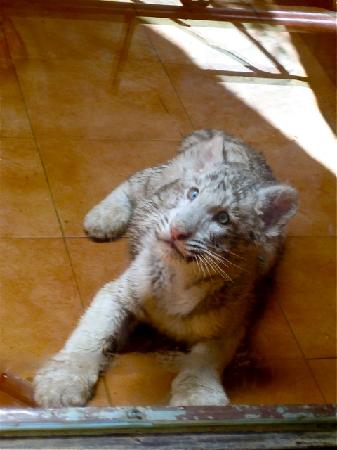 Rancho Texas Lanzarote Park: Baby white tiger! Amazing!
