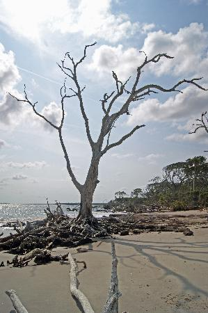 Big Talbot Island State Park: Dead tree standing on the beach