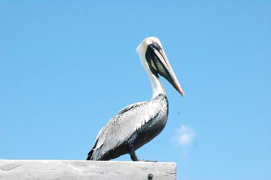Captain Dulche's Museum: Resident Pelican