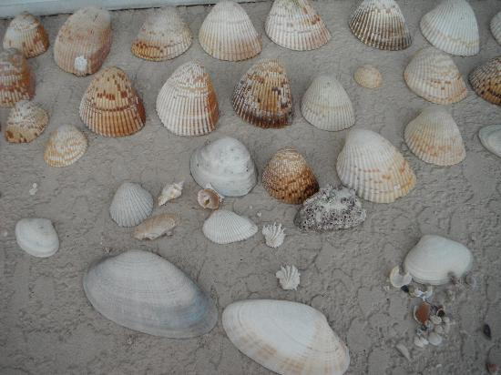 Shell Key Shuttle: Just few of the shells we collected...