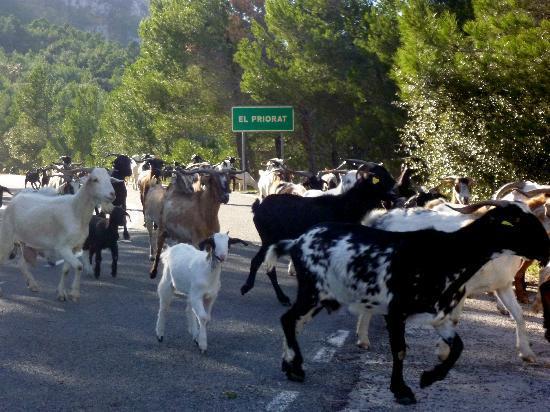 Salou Downhill Bikes: goats