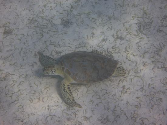 Crystal Cove Beach Resort on Sapphire Bay: The Resident Turtle