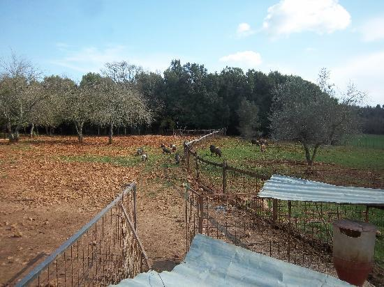 Tenuta di Spannocchia: The fields, pigs and olive trees
