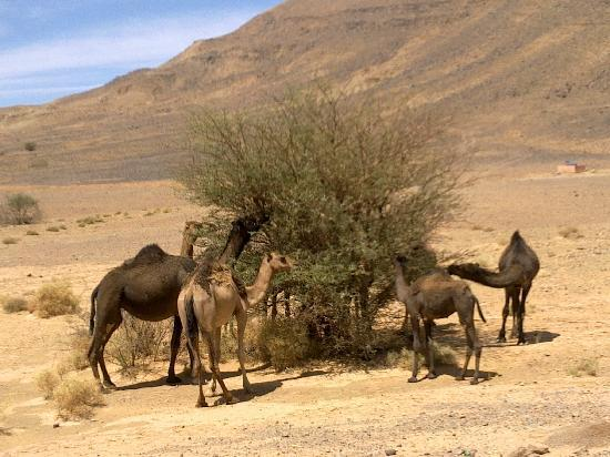 Sahara Exploring Expedition Day Tours: Camels in the desert