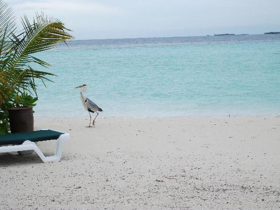 Vilamendhoo Island Resort & Spa: The beach, with a local resident!