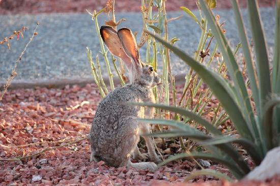 Lake Powell Resort: 朝は野ウサギがいました!