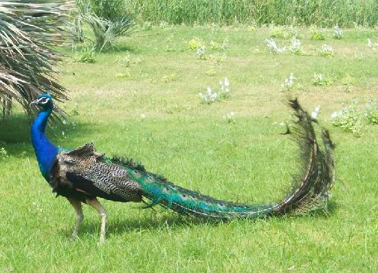 Reserve Africaine de Sigean : paon