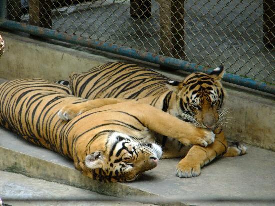 "Tiger Kingdom Chiang Mai: tigres, photos prises du balcon du restaurant, section ""A la carte"""