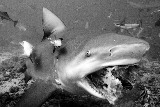 Beqa Island, فيجي: Shark Dive