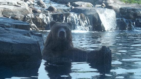 Minnesota Zoo: Grizzly bear taking a bath!
