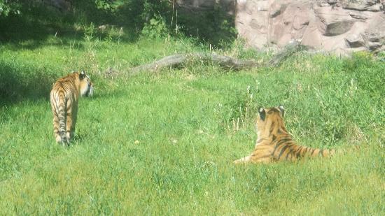 Minnesota Zoo: Tigers