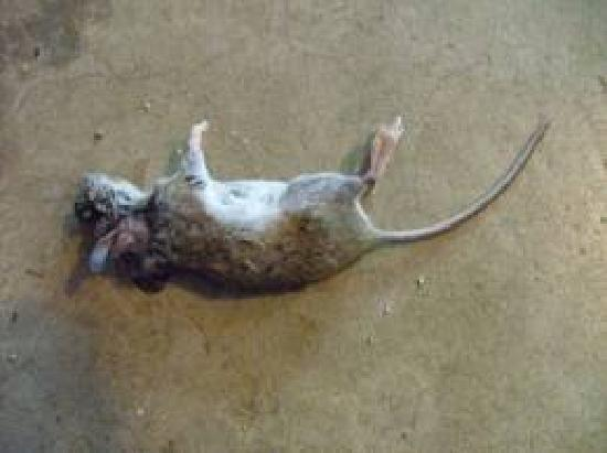 Panvel, India: Dead rat at the entrance on the inside of bungalow
