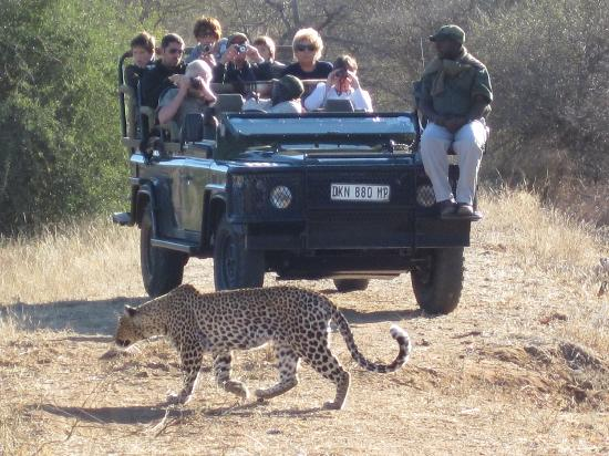 Mohlabetsi Safari Lodge: A Leopard next to the vehicle in broad daylight is every safari-goers dream!
